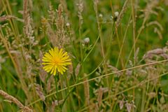 明亮的黄色在有野生高草的一个草甸flatweed花 免版税库存图片