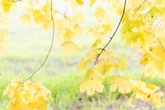 明亮的黄色在秋天离开在草背景 图库摄影