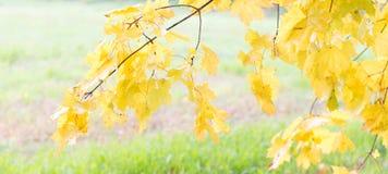 明亮的黄色在秋天离开在草背景 免版税库存照片