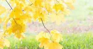 明亮的黄色在秋天离开在草背景 库存照片