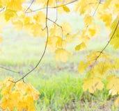 明亮的黄色在秋天离开在草背景 免版税库存图片