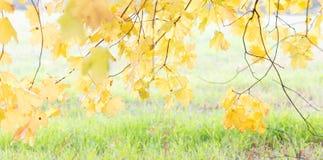 明亮的黄色在秋天离开在草背景 库存图片