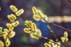 明亮的黄色柳属柳树柔荑花芽 库存照片