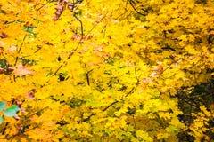 明亮的黄色槭树叶子和黑暗的分支 库存照片