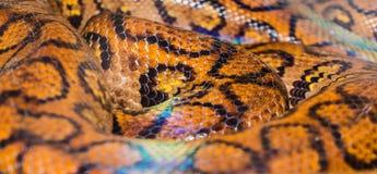 明亮的黄色水蟒蟒蛇蛇皮摘要构造了样式 免版税库存图片