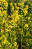 明亮的黄色油菜籽植物特写镜头有红色瓢虫的对此 在背景有油菜领域 库存图片