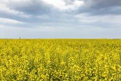 明亮的黄色油菜籽的领域在春天 菜子油种子斥责 免版税库存图片