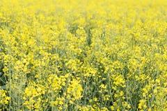 明亮的黄色油菜籽的领域在春天 菜子油种子斥责 免版税图库摄影