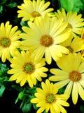 明亮的黄色海角延命菊雏菊 图库摄影