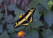 明亮的黄色热带蝴蝶坐花 库存图片