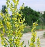 明亮的黄色狂放的领域花弄脏了夏天晴天countryroad和树宏指令正方形的背景乡下 免版税库存图片