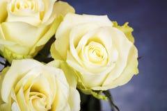 明亮的黄色玫瑰背景 库存照片