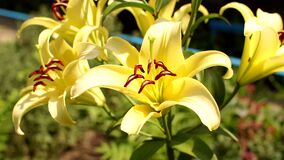 明亮的黄色百合花在庭院里 影视素材