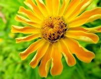 明亮的黄色百日菊属大丽花花 免版税库存照片