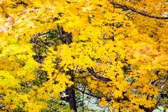 明亮的黄色秋天叶子 免版税图库摄影