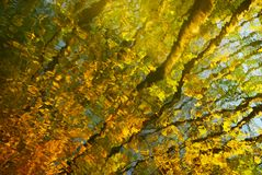 明亮的黄色秋季背景:与波纹的水表面反射被点燃的树干和金黄叶子 免版税图库摄影