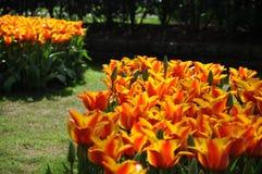 明亮的黄色红色郁金香花圃在阳光下 库存照片