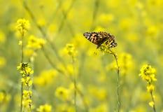明亮的黄色芥末野花的领域的被绘的夫人Butterfly 免版税库存照片