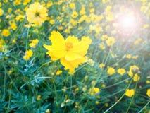 明亮的黄色花在庭院里 弄脏点燃透镜火光 免版税库存照片