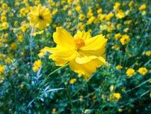明亮的黄色花在庭院里 库存照片