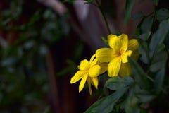 明亮的黄色花在晚上 免版税库存图片