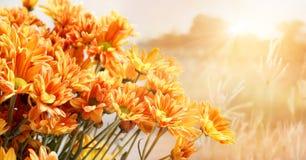 明亮的黄色菊花美丽的花  免版税库存照片