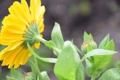 明亮的黄色金盏草Officinalis或万寿菊花后侧方视图玛丽亚Rutkovska 免版税库存图片