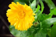 明亮的黄色金盏草Officinalis或万寿菊花玛丽亚Rutkovska 库存图片