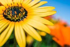 明亮的黄色雏菊射击与宽宏指令 图库摄影