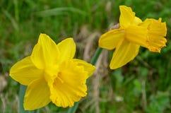 明亮的黄色黄水仙在一个晴天 免版税库存图片