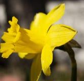 明亮的黄色黄水仙科罗拉多庭院春天 库存照片