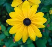 明亮的黄色黄金菊或黑眼睛的苏珊花 免版税库存照片