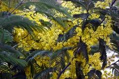 明亮的水多的春天含羞草花束  免版税库存照片