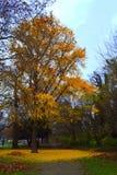 明亮的结构树黄色 免版税库存照片