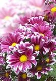 明亮的绯红色菊花花束  免版税图库摄影