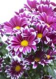 明亮的绯红色菊花花束  免版税库存图片