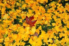 明亮的黄色下落的叶子盖子 库存图片