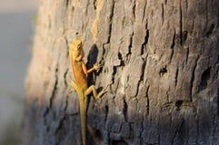 明亮的黄色亚洲庭院蜥蜴Calotes versicolour在树顶饰有在plam事假,特写镜头的蓝色背景a, 库存照片
