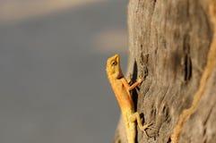 明亮的黄色亚洲庭院蜥蜴Calotes versicolour顶饰  免版税库存照片