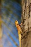 明亮的黄色亚洲庭院蜥蜴Calotes versicolour顶饰Tre 图库摄影