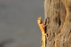明亮的黄色亚洲庭院蜥蜴Calotes versicolour 免版税库存照片