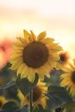 明亮的黄色向日葵在一个领域增长在村庄 库存照片