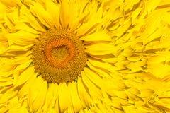 明亮的黄色向日葵的样式 免版税库存照片