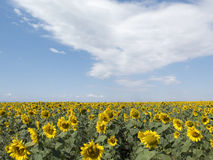 明亮的黄色向日葵的领域,与白色的蓝天 免版税库存照片