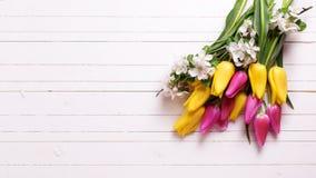 明亮的黄色和桃红色春天郁金香和苹果树开花  免版税图库摄影