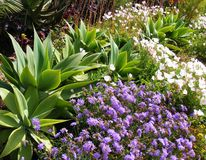 明亮的紫色和白花用仙人掌 图库摄影