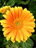 明亮的黄色大丁草germini花 库存图片