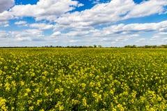 明亮的黄色开花的油菜(油菜籽)厂的领域的广角射击生长在一个农场的在俄克拉何马 免版税库存图片