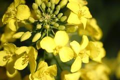 明亮的黄色强奸花 库存照片