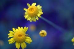 明亮的黄色春黄菊花 库存照片
